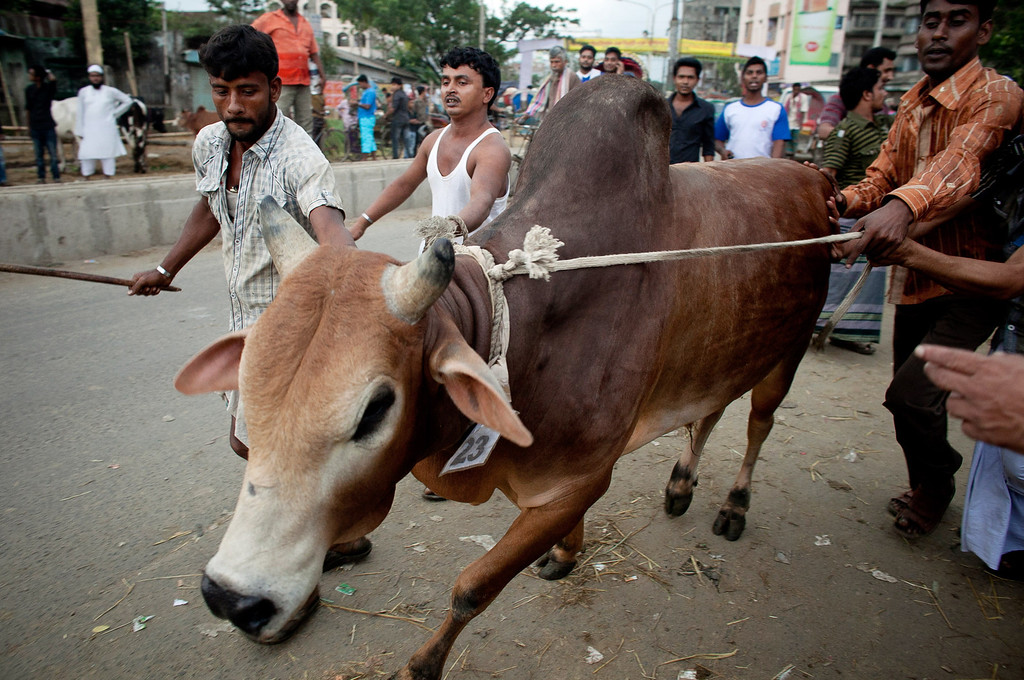 . Men struggle to control a cow at a cattle market on October 15, 2013 in Dhaka, Bangladesh. Eid Al-Adha, known as the \'Feast of the Sacrifice\', is one of the most significant festivals on the Muslim calendar and lasts for four days.  (Photo by Getty Images/Getty Images)