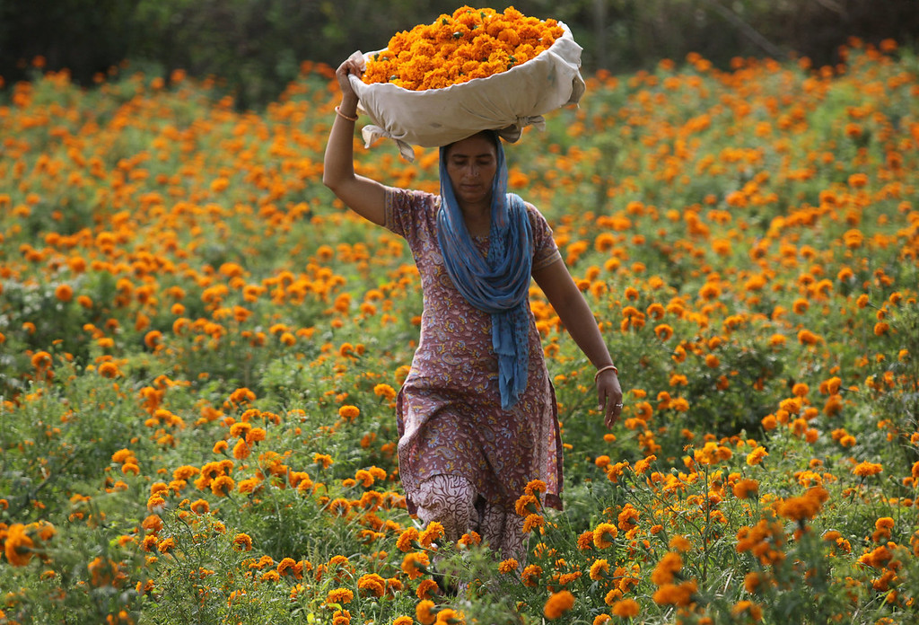 . An Indian villager carries a basket of marigold flowers as she walks through a field on the outskirts of Jammu on October 31, 2013, ahead of the festival of Diwali. Kashmiri marigolds are sold in great quantities in markets as flowers form an essential feature of all religious ceremonies in the Indian sub-continent. AFP PHOTO/STRSTRDEL/AFP/Getty Images