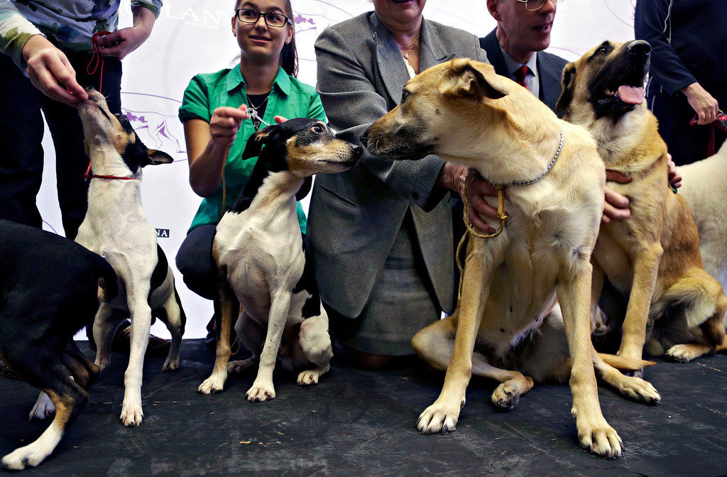 . A rat terrier, center left, gets acquainted with a chinook during a news conference in New York, Wednesday, Jan. 15, 2014. The rat terrier and the chinook are two of the three new breeds that will be competing at the 138th Westminster Dog Show starting Feb. 10, 2014. (AP Photo/Seth Wenig)