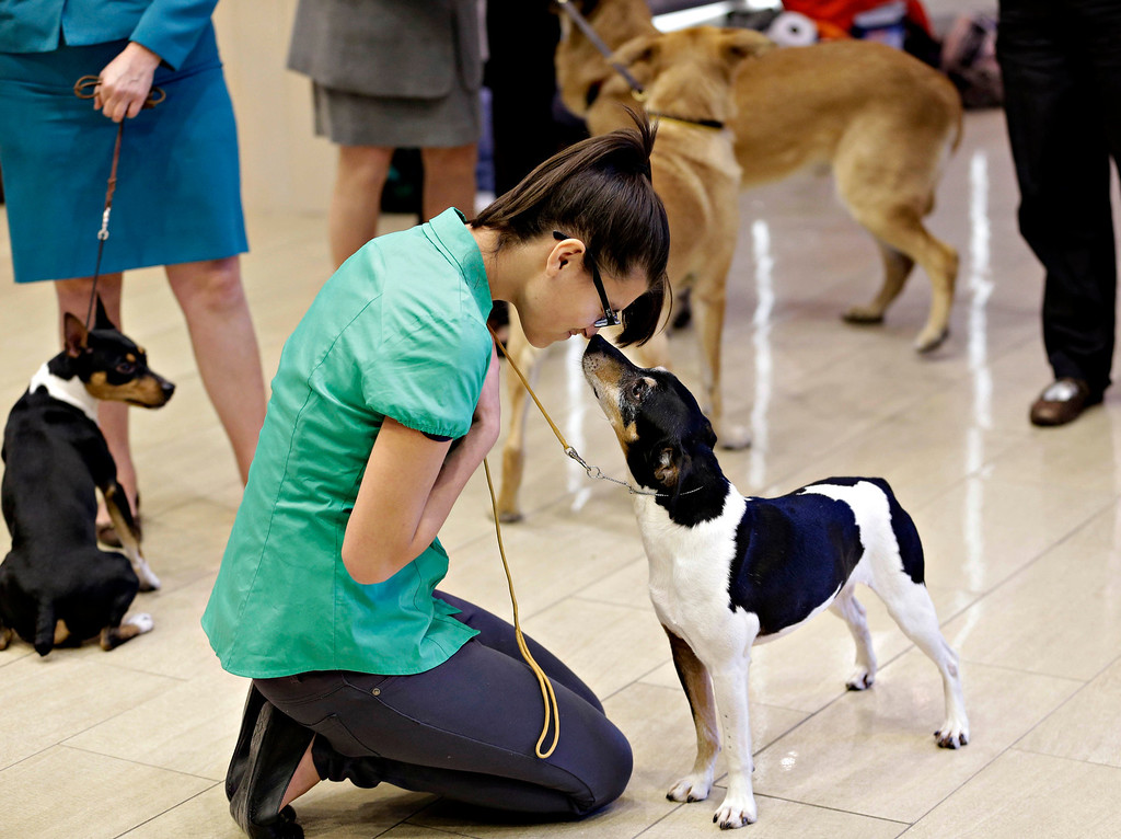 . Levi, a rat terrier, touches noses with Joy L\'Ecuyer during a news conference in New York, Wednesday, Jan. 15, 2014. The rat terrier is one of three new breeds that will be competing at the 138th Westminster Dog Show starting Feb. 10, 2014. (AP Photo/Seth Wenig)