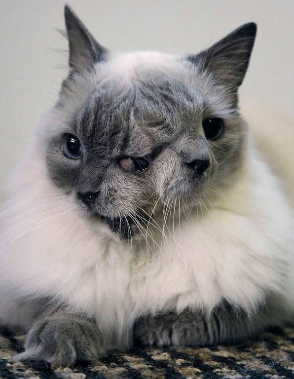. In this Wednesday, Sept. 28, 2011 photo, a cat with two faces, named Frank and Louie, sits on a mat in his home in Worcester, Mass.  The animal is known as a Janus cat, named for the figure in Roman mythology with two faces on one head. The owner calls the face on the left Frank, while the face on the right she identifies as Louie. (AP Photo/Steven Senne)