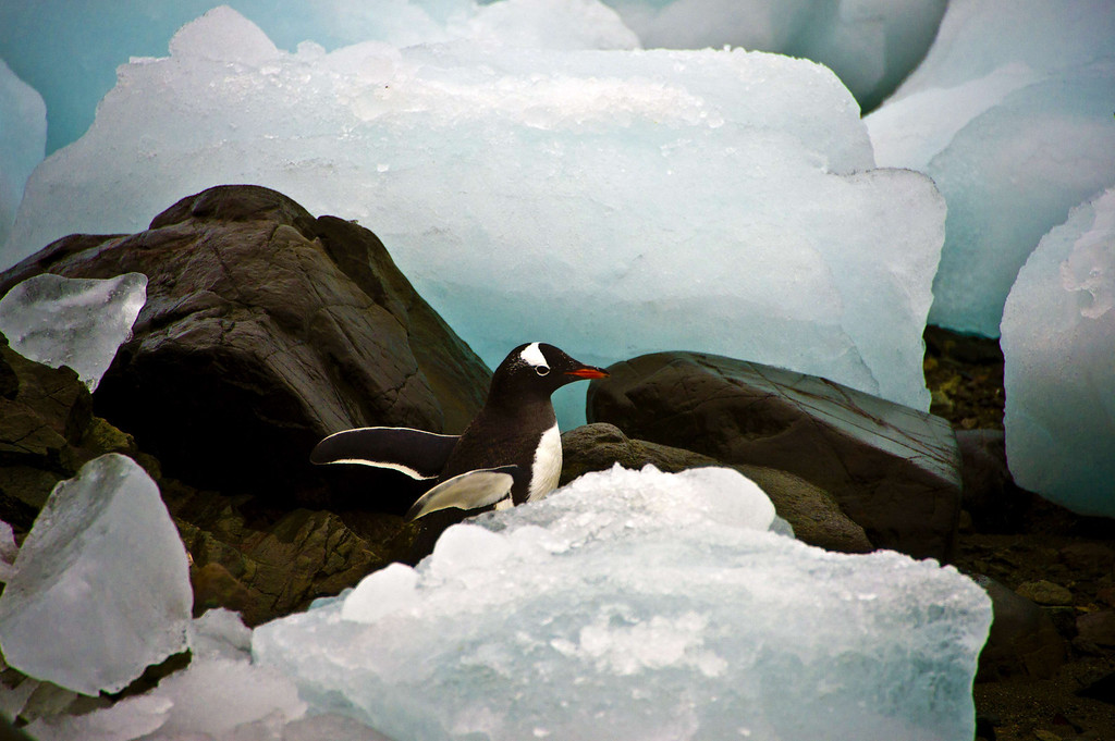 . A penguin is seen amid ice blocks, in front of the Brazilian Comandante Ferraz Antartic station on March 10, 2014.    AFP PHOTO / VANDERLEI ALMEIDA /AFP/Getty Images