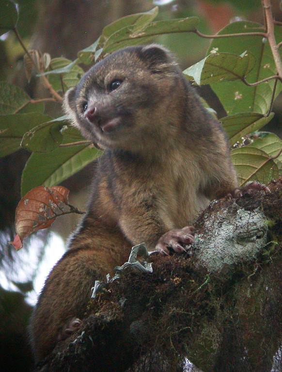 . In this handout photo provided by Smithsonian, an olinguito, a new species of Carnivore which has been newly discovered, is seen in an undated photo.  (Photo by Mark Gurney for Smithsonian via Getty Images)