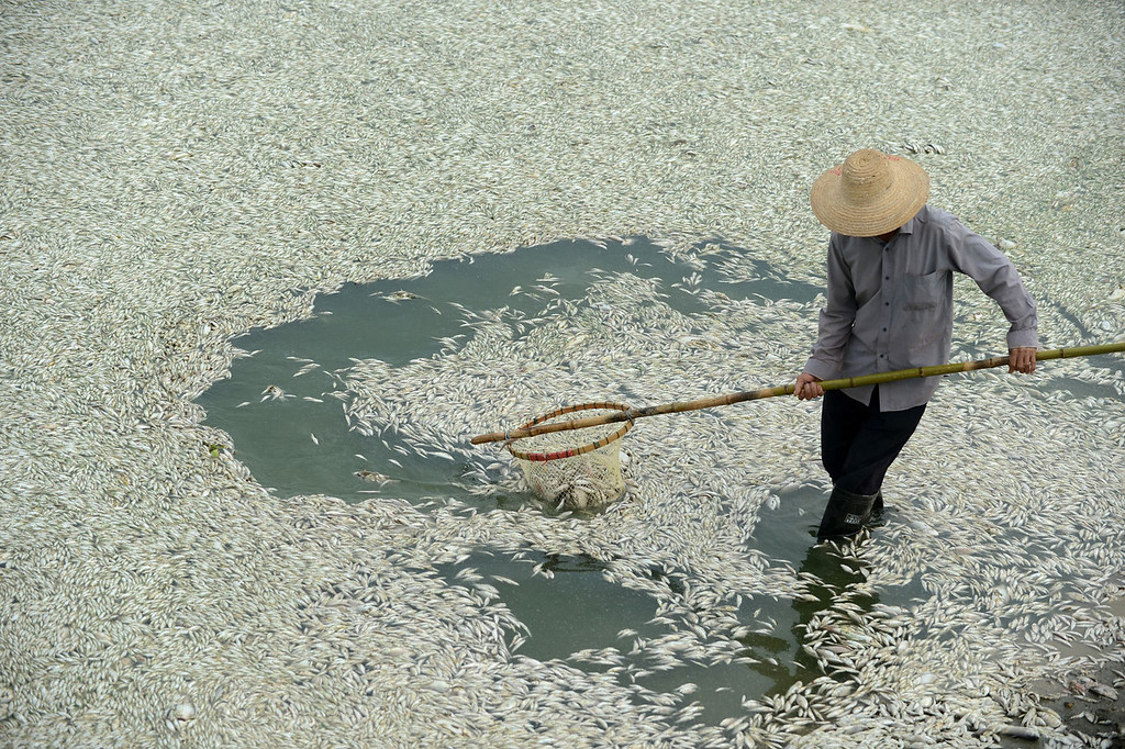 . A resident clears dead fish from the Fuhe river in Wuhan, in central China\'s Hubei province on September 3, 2013 after large amounts of dead fish began to surface early the day before. According to local media, about 30 thousand kilograms of dead fish had been cleared by late Monday. The official Wuhan municipal government\'s emergency office Weibo account announced on September 3 that the fish had died of severely high levels of ammonia.   AFP PHOTOSTR/AFP/Getty Images