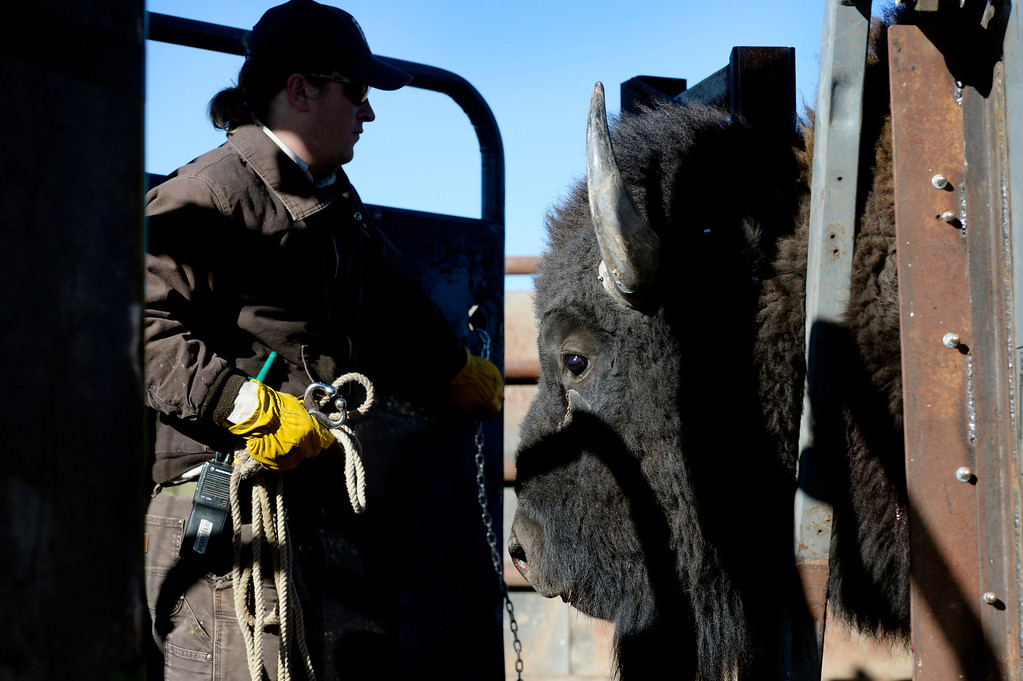 . William Kutosky prepares to release a bison after a checkup during the annual bison roundup at the Rocky Mountain Arsenal National Wildlife Refuge in Commerce City, CO December 17, 2013. (Photo By Craig F. Walker / The Denver Post)