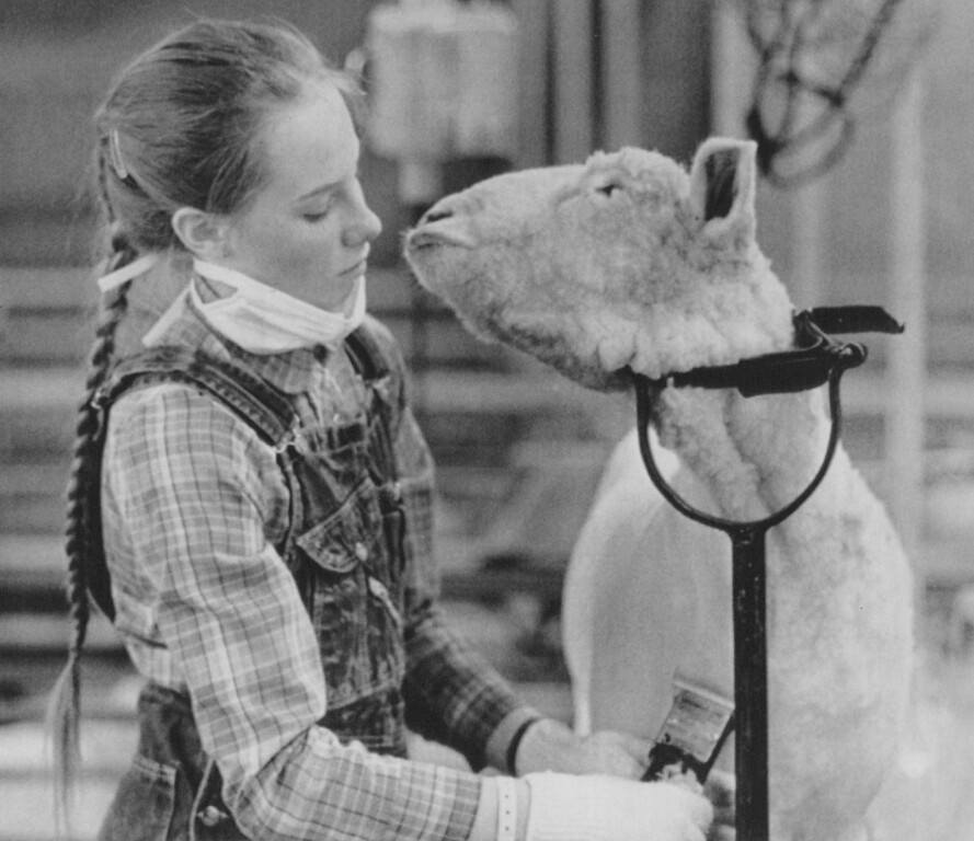 . A Missed Kiss -- Laurie Thoman of Green River, Wyoming tries to avoid the affections of her Rambouillet market lamb, Freckles while preparing him for competition at the National Western Stock Show in Denver Wednesday. 1987. Credit: AP Laserphoto