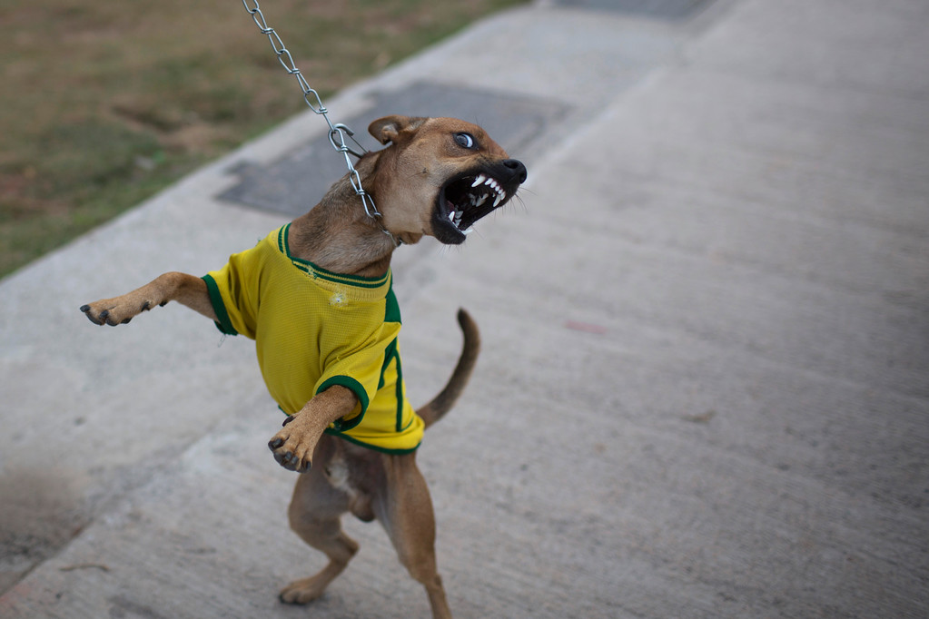 . A dog named after Chile\'s soccer player Valdivia reacts as he is photographed wearing a Brazilian soccer jersey during his morning walk outside Itaquerao Stadium in Sao Paulo, Brazil, Wednesday, June 11, 2014. Brazil is hosting the World Cup soccer tournament starting Thursday.  (AP Photo/Felipe Dana)