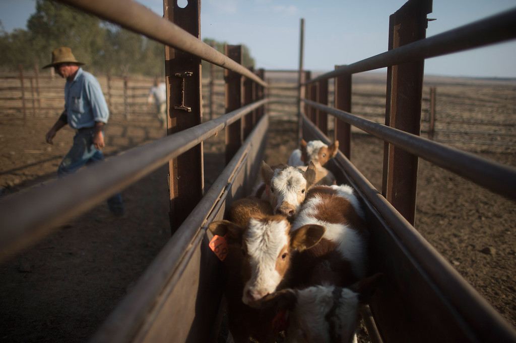 . Israeli cowboy Yechiel Alon walks past calfs waitng to receive vaccines, at the Merom Golan ranch on November 14, 2013 in the Israeli-annexed Golan Heights. Israeli cowboys have been growing beef cattle in ranches on the Golan Heights disputed strategic volcanic plateau for over 30 years, Land which is also used by the Israeli army as live-fire training zones. The disputed plateau was captured by Israel from the Syrians in the 1967 Six Day War and in 1981 the Jewish state annexed the territory.   (Photo by Uriel Sinai/Getty Images)