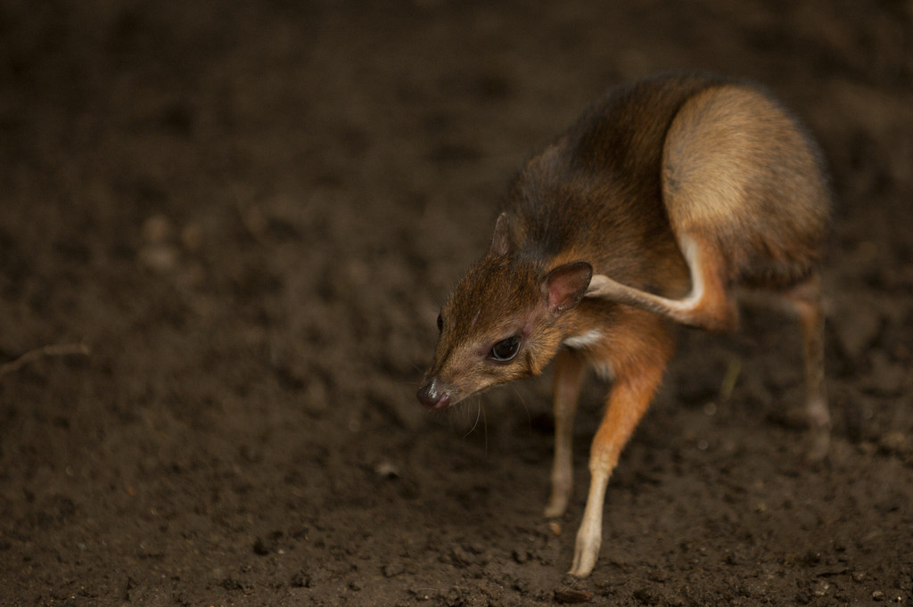 """. A picture taken on April 25, 2014 shows a Java mouse-deer cub, one of the world\'s smallest hoofed animals, at the Fuengirola Biopark, near Malaga. The latest specimen of the world\'s tiniest deer -- a rare species no bigger than a hamster -- has been born in a nature park in southern Spain, conservationists said today. The baby \""""deer-mouse\"""" became just the 43rd living member of this species in Europe when it was born on April 9.  Jorge Guerrero/AFP/Getty Images"""