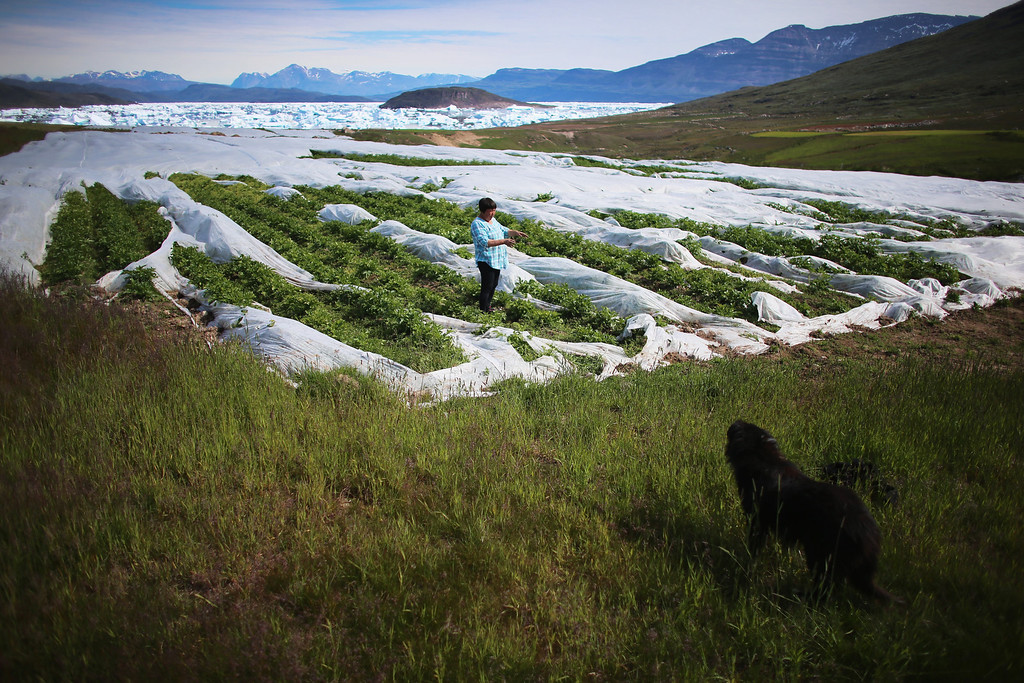 . Arnaq Egede stands among the plants in her family\'s potato farm on July 31, 2013 in Qaqortoq, Greenland. The farm, the largest in Greenland, has seen an extended crop growing season due to climate change.  (Photo by Joe Raedle/Getty Images)