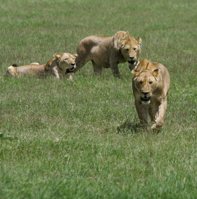 . Lions move through the grasses of Ngorongoro Crater in Tanzania, Africa