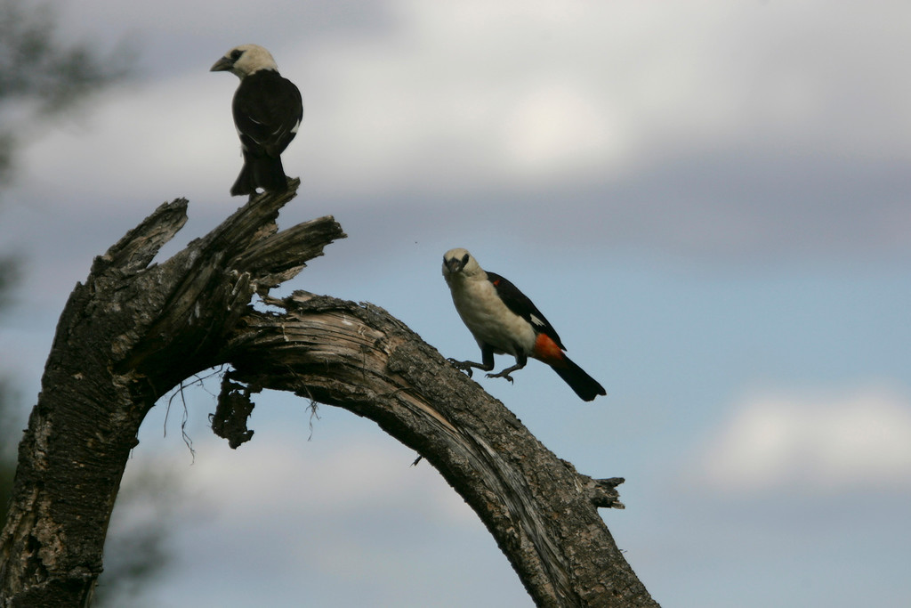 . Birdlife abounds in Tarangire National Park, Tanzania, Africa. These are a pair of White Headed Buffalo Weavers.