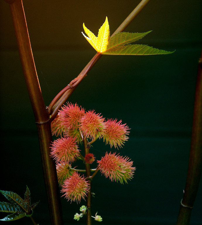 . A castor bean tree in the Peters-Combs backyard leans bright leaves and seed pods over one of the family ponds. (Cyrus McCrimmon, The Denver Post)