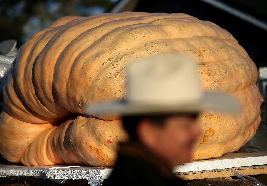 . A giant pumpkin grown by Gary Miller of Napa, California sits in the bed of a truck during the 40th Annual Safeway World Championship Pumpkin Weigh-Off on October 14, 2013 in Half Moon Bay, California.   (Photo by Justin Sullivan/Getty Images)