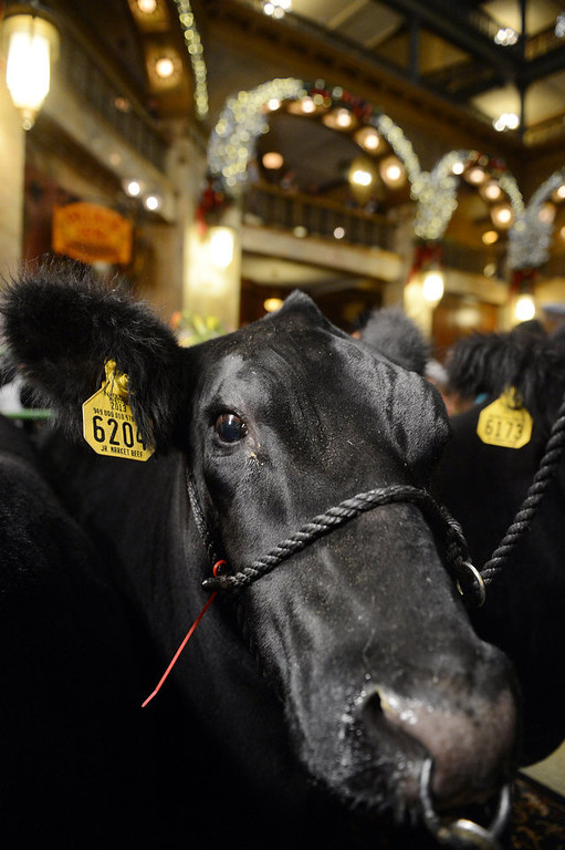 . DENVER, CO. - JANUARY 25:  The National Western Stock Show\'s Grand Champion, Trevor, was on display at the Brown Palace Hotel & Spa in Denver, CO, January, 25, 2013. The Grand Champion, weighing in at 1335 lbs. was raised by Shilo Schaake of Westmoreland, KS. The Reserve Grand Champion, Nick, 1275 lbs, was also shown by  Jessica Webster of Runnells, IA. (Photo By Craig F. Walker / The Denver Post)