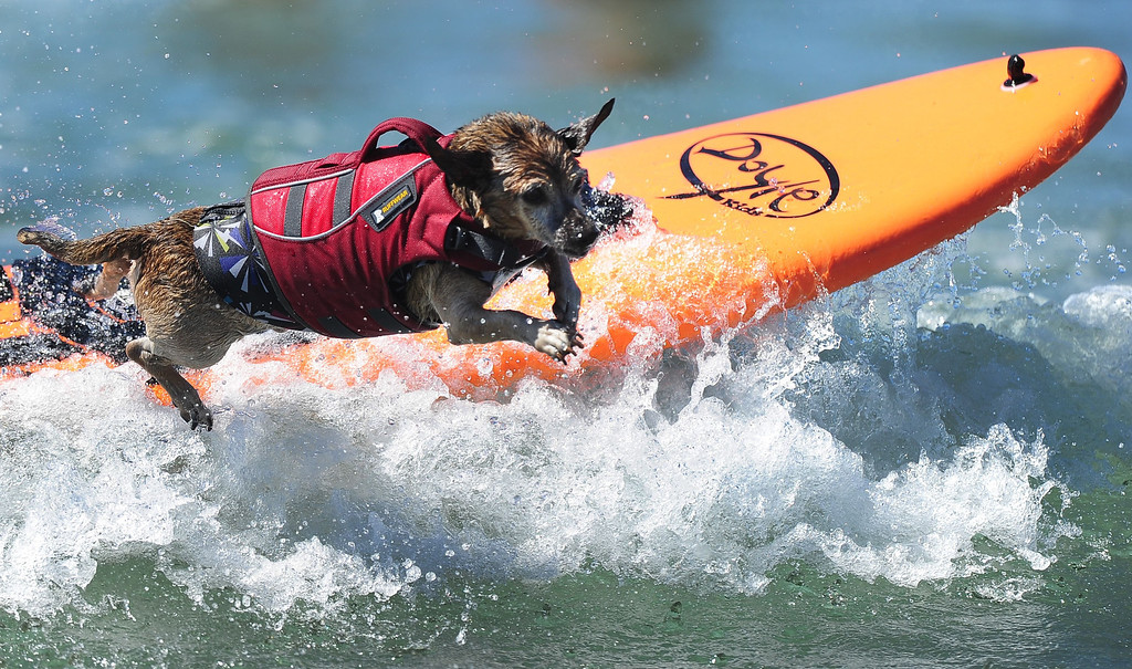 . A dog leaps off the surfboard while competing during the 5th Annual Surf Dog competition at Huntington Beach, California, on September 29, 2013.  AFP PHOTO/Frederic J. BROWN/AFP/Getty Images