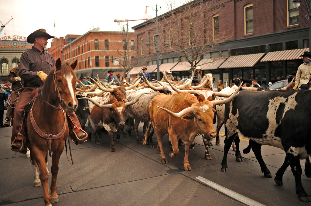 . Cowboys escort the Texas Longhorns for the celebration of 107th National Western Stock Show Kick-Off Parade at Downtown Denver on Thursday. Denver, CO, January 10, 2013.  Hyoung Chang, The Denver Post