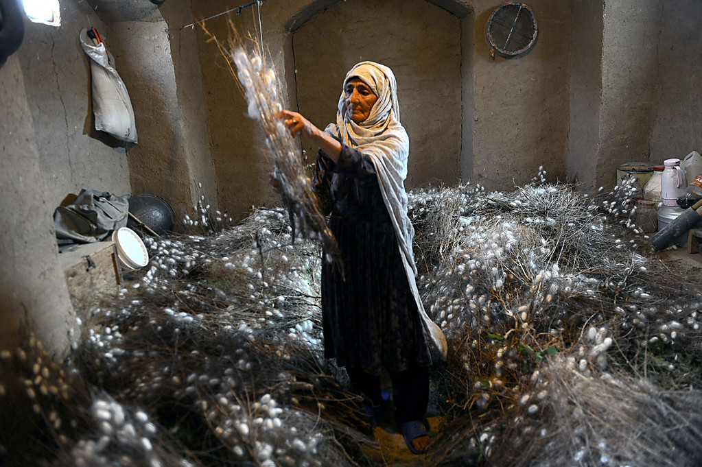 . In this photograph taken on May 22, 2014, an Afghan worker collects a cocoon from dried mulberry leaves in Zandajan district of Herat province. Once a stop along the Silk Road trade route, western Afghanistan has a long tradition of producing silk used to weave carpets, a process that dates back thousands of years. Carpets are Afghanistan\'s best-known export, woven mostly by women and children in the north of the country, a trade which once employed, directly or indirectly, six million people, or a fifth of the country\'s population, although that figure has dropped sharply. In cooperation with a non-profit organization the Department of Agriculture in Herat provided some 5,050 silkworm boxes to several districts at the beginning of 2014 to revive silk production in the region. Some 42,500 women and their families are involved in the project which aims to provide a means of subsistence and potentially lead to international market access for silk producers in the country. The popular wool and silk Afghan carpets made by different tribes can sell for a price that can range between 150 USD to thousands of dollars. AFP PHOTO/Aref KarimiAref Karimi/AFP/Getty Images