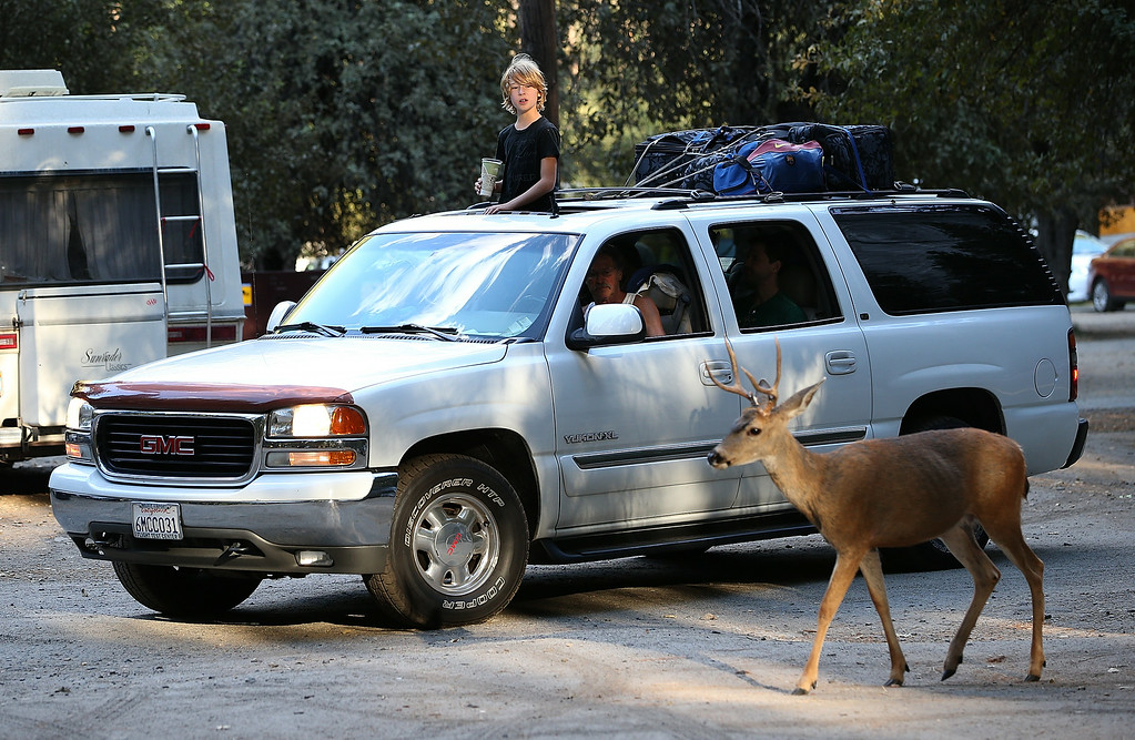 . A young park visitor stands in the sunroof of an SUV to get a better view of deer in a parking lot in the Yosemite Valley on August 28, 2013 in Yosemite National Park, California.   (Photo by Justin Sullivan/Getty Images)