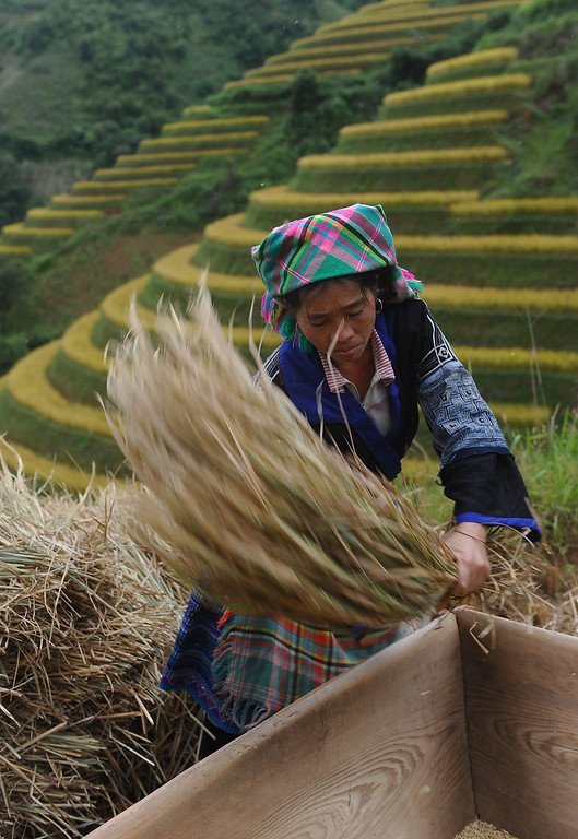 . This picture taken on October 1, 2013 shows a Hmong ethnic hill tribe woman harvesting rice on a terrace rice field in Mu Cang Chai district, in the northern mountainous province of Yen Bai. The local residents, mostly from the Hmong hill tribe, grow rice in the picturesque terrace fields whose age is estimated to hundreds years. Due to hard farming conditions, especially irrigation works, locals produce only one rice crop per year. In recent years a growing numbers of tourists have been attracted by the beautiful landscapes created by the region\'s rice terrace fields.  HOANG DINH NAM/AFP/Getty Images