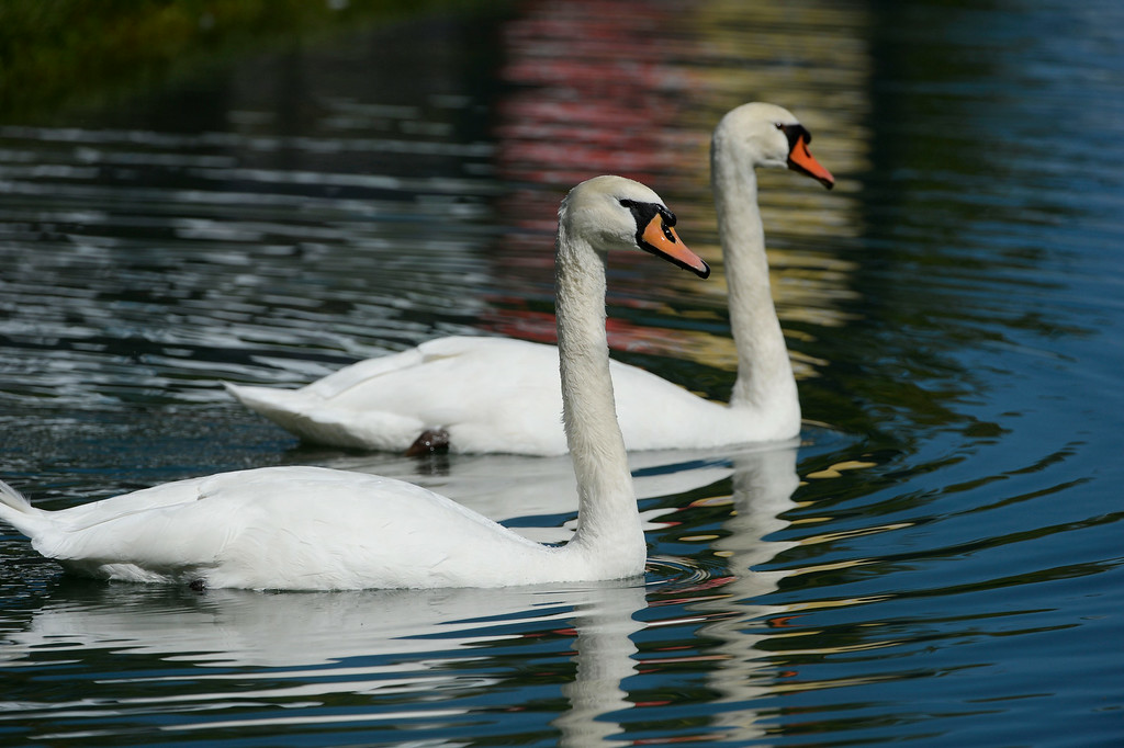 . CHERRY HILLS VILLAGE, CO. - SEPTEMBER 03:  A pair of swans swim around in the moat surrounding hole 17 during the FedExCup BMW Championship Pro-Am at the Cherry Hills Country Club Wednesday, September 03, 2014. (Photo By Andy Cross / The Denver Post)