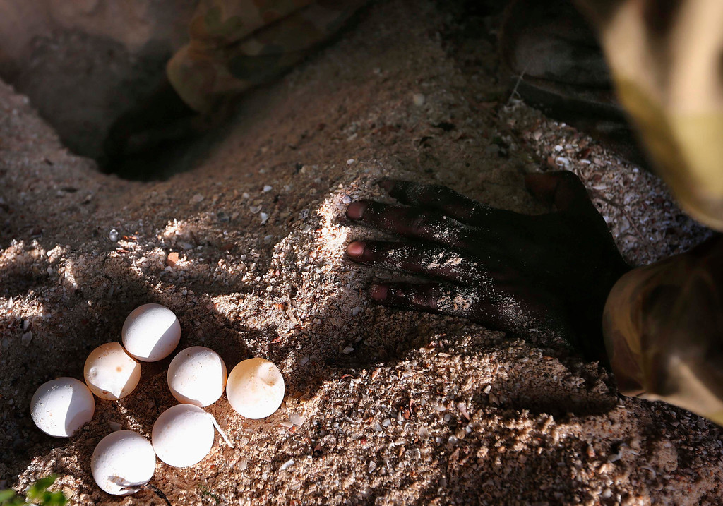. Lance-corporal Vinnie Rami, an indigenous soldier from Australia\'s North West Mobile Force (NORFORCE) unit, removes turtle eggs from a nest on Wigram Island, part of the English Company Islands, located inside Arnhem Land in the Northern Territory July 18, 2013. NORFORCE is a surveillance unit that employs ancient Aboriginal skills to help in the seemingly impossible task of patrolling the country\'s vast northwest coast. NORFORCE\'s area of operations is about 1.8 million square km (700,000 square miles), covering the Northern Territory and the north of Western Australia. Aboriginal reservists make up a large proportion of the 600-strong unit, and bring to bear their knowledge of the land and the food it can provide. Fish, shellfish, turtle eggs and even insects supplement rations during the patrol, which is on the lookout for illegal foreign fishing vessels and drug smugglers, as well as people smugglers from neighboring Indonesia.  Picture taken July 18, 2013. REUTERS/David Gray