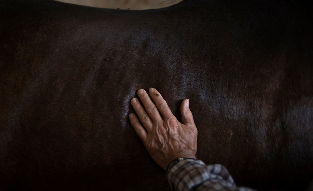 """. In this photo taken on Monday, April. 8, 2013, breeder Francisco Mesa\'s hand is seen placed on the back of one of his \'\'Pura Raza Espanola\'\' or Pure Spanish Breed horse inside a stable at \""""La Yeguada de la Nobleza\"""" ranch in Almonte, in the southern Spanish region of Andalusia. Barring an unlikely reprieve, Mesa\' purebreds will be turned into horse meat for export come July. They are victims of a wrenching economic downturn that has wiped out fortunes, turned housing developments into ghost towns and left more than a quarter of the population out of work. (AP Photo/Laura Leon)"""