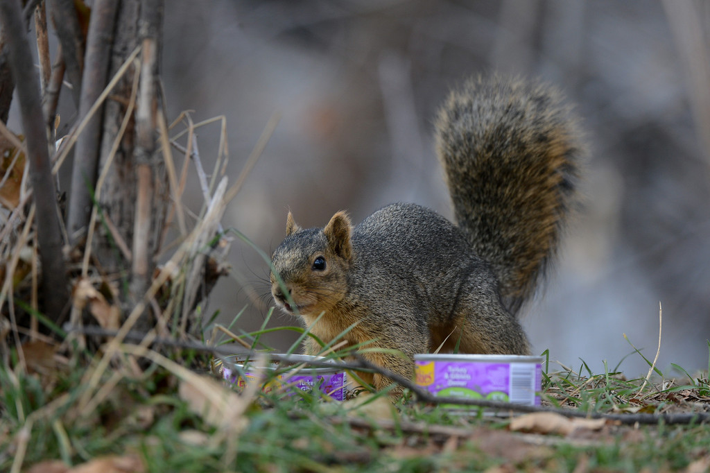 . A squirrel eats cat food left for a colony of feral cats living along South Platte River Dr. in Denver, CO, Thursday December 06, 2012. Craig F. Walker, The Denver Post