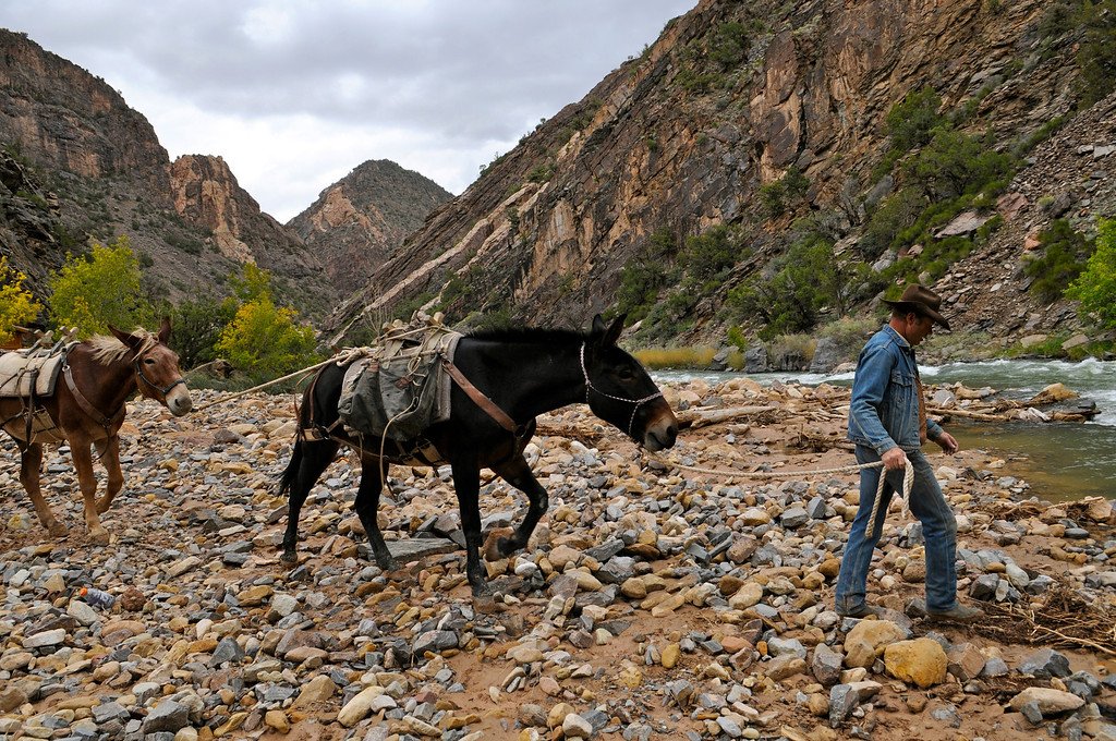 . After unloading rafts and equipment, Larry Frank (970-323-0155) leads a mule train to drink from the Gunnison River at the end of the Chukar Trail in Gunnison Gorge last weekend. Frank, the lone horse packer with a permit to haul gear down the mile-long trail, has only a couple trips remaining in the gorge this fall. Scott Willoughby, The Denver Post