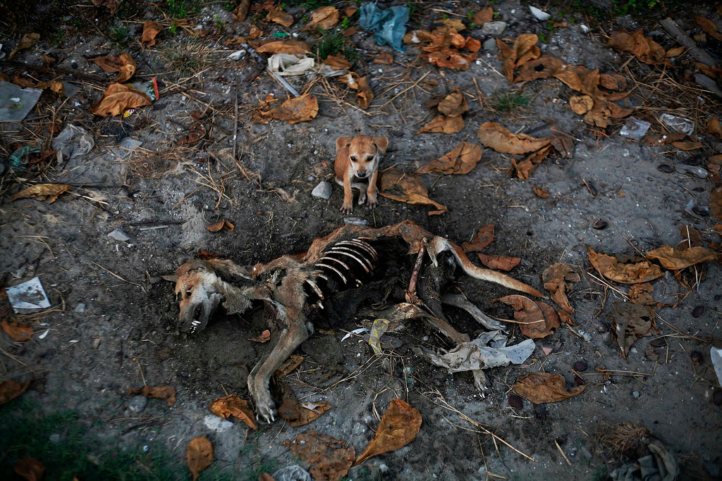 . A puppy stands by remains of a dog local residents said was its mother, days after it was killed in an area burnt in violence at East Pikesake ward in Kyaukphyu November 6, 2012. Picture taken November 6, 2012.           REUTERS/Minzayar