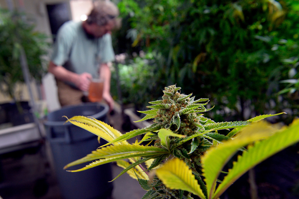 . NORTHGLENN, CO. - DECEMBER 31: Marijuana plants at BotanaCare 21+ in Northglenn, CO December 31, 2013. The retail marijuana center was preparing to open at 9am on January 1, 2014 when Colorado becomes the first place anywhere in the world to allow legal marijuana sales to anybody over 21 for any purpose. (Photo By Craig F. Walker / The Denver Post)