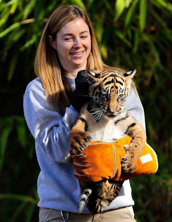 ". A female Sumatran Tiger cub named Sukacita is held by biologist Leigh Pitsko after the cub performed her ""swim test\"" in a moat of the Great Cats exhibit at the National Zoo November 6, 2013 in Washington, DC.   (Photo by Win McNamee/Getty Images)"