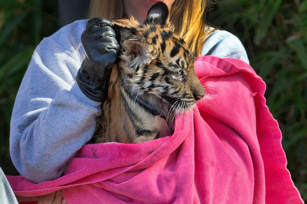 ". A three-month-old Sumatran tiger cub named ""Sukacita\"" is toweled off after passing her swim reliability test in the moat at the tiger exhibit at the National Zoo in Washington, Wednesday, Nov. 6, 2013. (AP Photo/Manuel Balce Ceneta)"