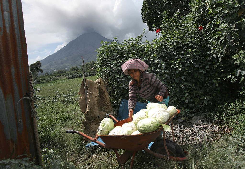 . A farmer loads cabbages into a cart as Mount Sinabung is spewing volcanic ash in Sukan Debi, North Sumatra, Indonesia, Tuesday, Nov. 26, 2013. Authorities raised the alert status of the volcano to the highest level on Sunday after it had a series of eruptions. (AP Photo/Binsar Bakkara)