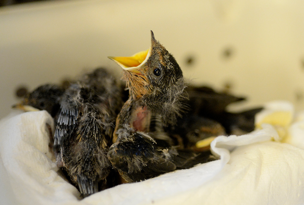 . DENVER, CO - JULY 30:  Wild B.I.R.D. Rehabilitation Center  will be closing it\'s doors, at the 1880 S. Quebec Way location, on September 1, 2014. They have cared for thousands of  sick, injured or abandoned birds.  A nest of 2 week old  barn swallows that were displaced at a construction site on  Wednesday, July 30, 2014.  They are closing because it is neither sustainable, nor properly zoned for the organization�s needs. They are fund raising to open at a new location in Wheat Ridge. (Denver Post Photo by Cyrus McCrimmon)