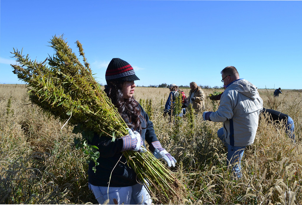 . In this Oct. 5, 2013 photo, volunteers harvest hemp at a farm in Springfield, Colo. during the first known harvest of industrial hemp in the U.S. since the 1950s. America is one of hempís fastest-growing markets, with imports largely coming from China and Canada. Most of that is hemp seed and hemp oil, which finds its way into granola bars, soaps, lotions and even cooking oil. (AP Photo/P. Solomon Banda)