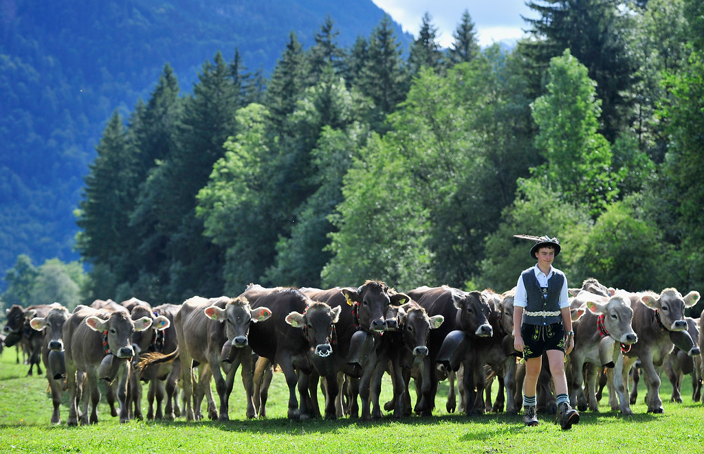 . An alpine cattle herder escorts cows down into the valley during the annual Viehscheid cattle drive on September 11, 2013 near Bad Hindelang, Germany.   (Photo by Lennart Preiss/Getty Images)