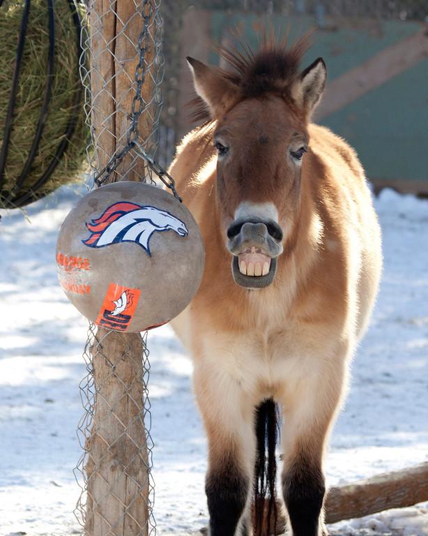 . Bataar, a Przewalski\'s horse, has a Broncos ball. (Provided by the Denver Zoo)