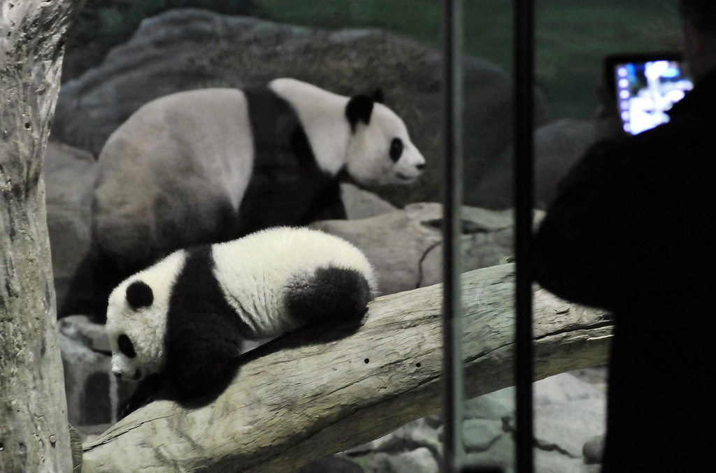 . Yuan Zai (bottom L) , the first Taiwan-born baby panda, and her mother Yuan Yuan climb inside an enclosure as a visitor takes photos at the Taipei City Zoo on January 6, 2014.  Yuan Zai, who weighed 180 grams (6.35 ounces) at birth, now weighs about 14 kilos (31 lbs) and make made her anticipated public debut as she turned six months old.     Mandy Cheng/AFP/Getty Images