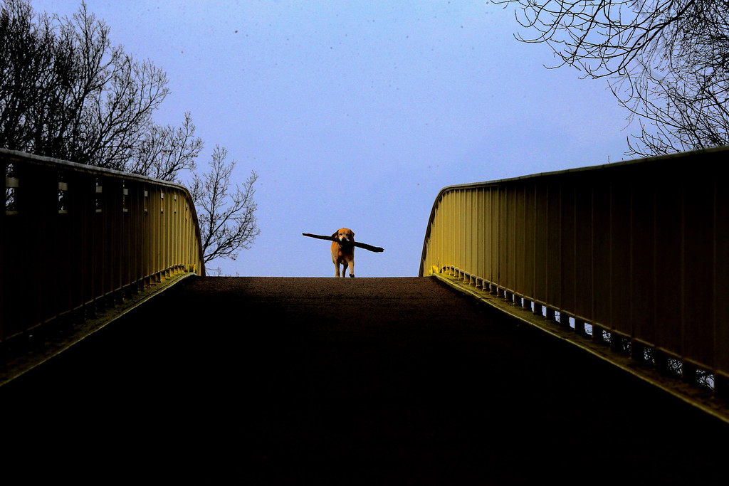 . A dog with a stick enjoys the sun while walking on a bridge at a lake in Duisburg, Germany, Friday March 22, 2013. Germany still faces temperatures around the freezing point after the start of spring. (AP Photo/Frank Augstein)