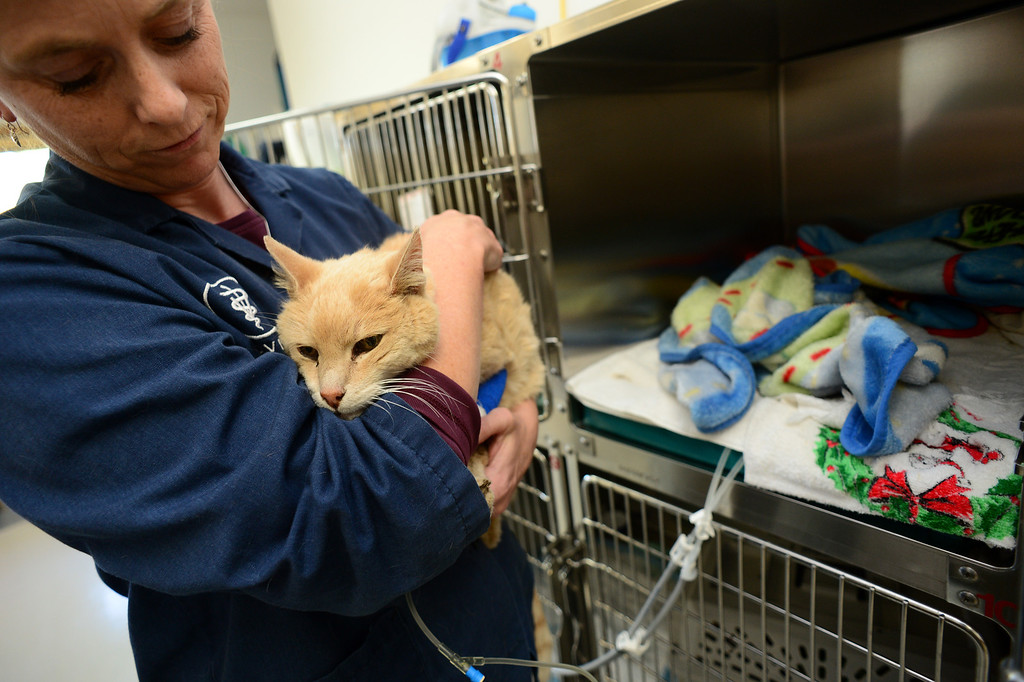. ESTES PARK, CO - OCTOBER 8: An orange cat receives fluid and medical care and a sweet touch from Veterinarian Dr. Theresa Flicek  at Animal Medical Center in Estes Park, Co on October 8, 2013.  The cat was discovered hanging trapped on an item inside the Glen Haven Inn in flood ravaged Glen Haven, Colorado almost four weeks after the flood.  The cat does not have a microchip and the medical clinic is hoping someone will come forward as the owner. The cat came in extremely dehydrated, hypothermic and barely alive.  (Photo By Helen H. Richardson/ The Denver Post)