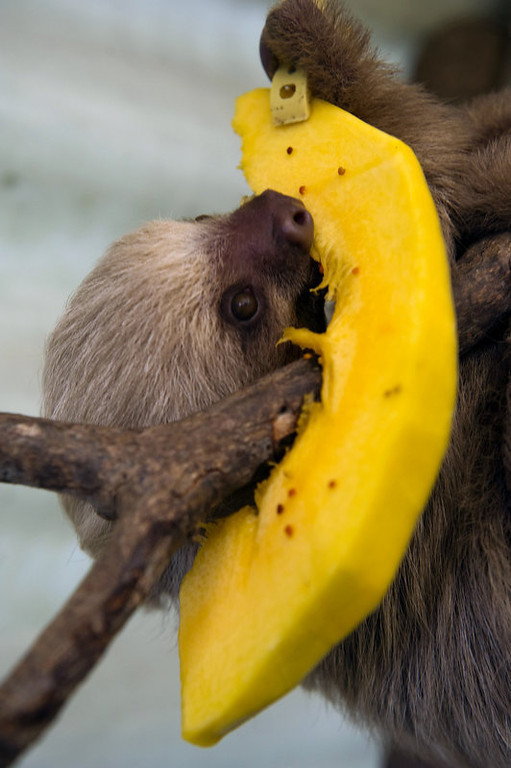 . baby two-toed sloth (Choloepus) eats fruit at the Aiunau Foundation in Caldas, some 25 km south of Medellin, Antioquia department, Colombia on September 15, 2012. Croatian scientist Tinka Plese created the foundation 10 years ago, where sloths --which have been captured by illegal wildlife traffickers and then sold to people between US40 to 150 dollars-- are rescued, rehabilitated and released. More than 700 sloths have been released to date.  RAUL ARBOLEDA/AFP/GettyImages