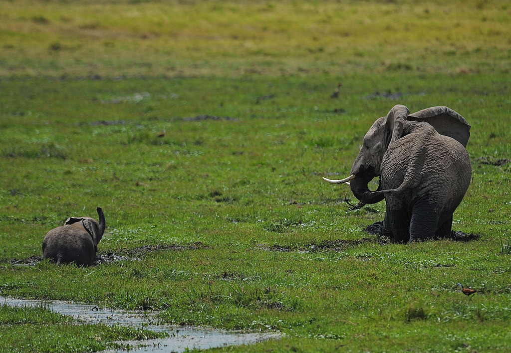 . An elephant and its calf graze on October 8, 2013 at Amboseli National Park, approximately 220 kms southeast of Nairobi. Kenyan and Tanzanian governments started on October 7 a joint aerial count of elephants and other large mammals in the shared ecosystem of the Amboseli-West Kilimanjaro and Natron- Magadi landscape. The one-week exercise, cost 104,000 US dollars, is a collaboration between the two countries and the Kenya  Wildlife Service (KWS), Tanzania Wildlife Research Institute (TAWIRI) and the African Wildlife Foundation (AWF) among others. TONY KARUMBA/AFP/Getty Images
