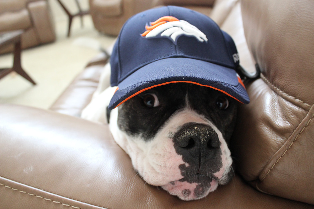 . Rocky the Broncos Fan We are ready for tomorrow!!!! Rocky the Bulldog. Renee C.