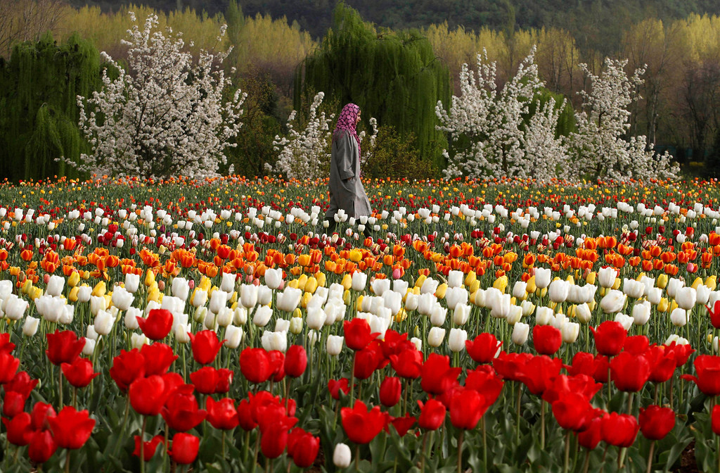 . A Kashmiri woman walks at a tulip garden on the outskirts of Srinagar, India, Wednesday, April 3, 2013. Kashmir, known for its mountains, lakes, forests and moderate weather was one of Asia\'s most popular tourist destinations until a Muslim separatist rebellion broke out in the region at the end of 1989 which according to officials has claimed more than 60,000 lives. With the situation improving, many tourists have started returning to Kashmir. (AP Photo/ Mukhtar Khan)