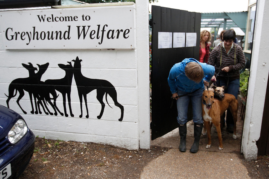 . Volunteers coax retired racing dogs through a door to take them for a walk in the grounds surrounding Wimbledon Greyhound Welfare in Hersham, Surrey May 22, 2011. Each year, only around 8,000 dogs make the grade to become racing dogs. An equal number retire. The industry-funded Retired Greyhound Trust claims that their 72 adoption branches find homes for roughly half that number. Picture taken May 22, 2011. REUTERS/Chris Helgren