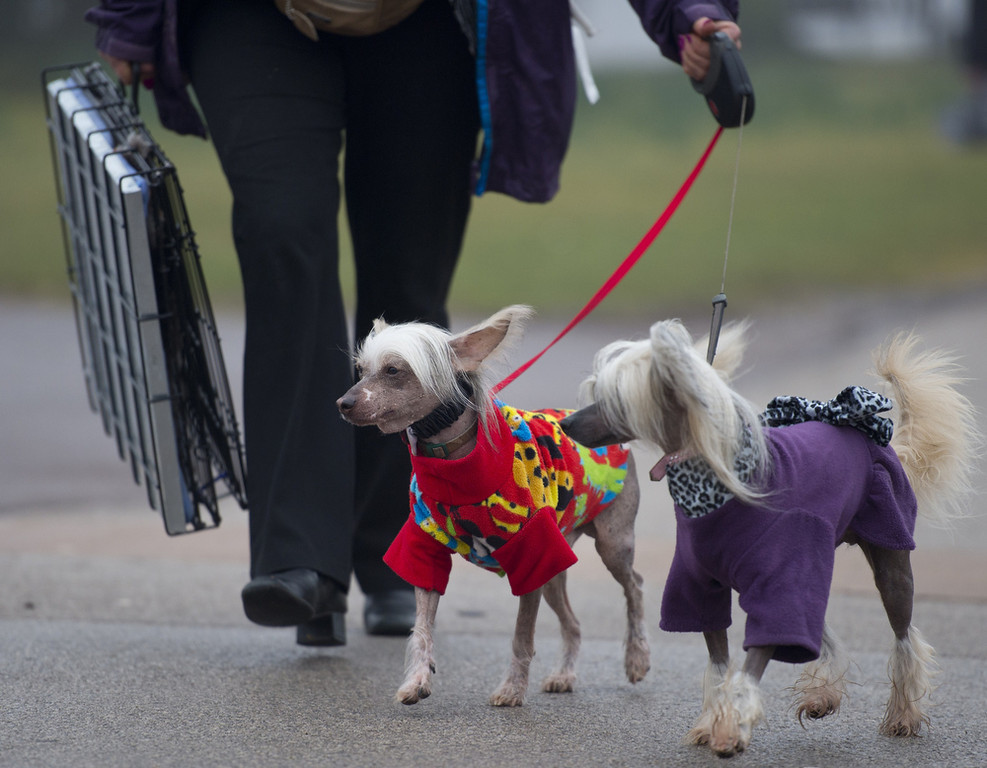 """. An owner arrives with her Chinese Crested dogs during the second day of the Crufts dog show in Birmingham, in central England on March 8, 2013. The annual event sees dog breeders from around the world compete in a number of competitions with one dog going on to win the \""""Best in Show\"""" category.  BEN STANSALL/AFP/Getty Images"""