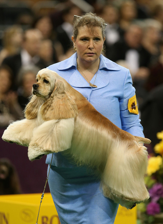 . Handler Stacy Dohmeier carries Tucker, an A.S.C.O.B Cocker Spaniel, at the 137th Westminster Kennel Club Dog Show on February 12, 2013 in New York City. Best of breed dogs were to compete for Best in Show at Madison Square Garden Tuesday night. A total of 2,721 dogs from 187 breeds and varieties competed in the event, hailed by organizers as the second oldest sporting competition in America, after the Kentucky Derby.  (Photo by John Moore/Getty Images)