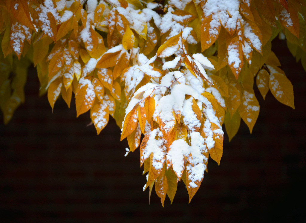 . A fresh blanket of snow cover fall leaves in southeast Denver Colorado, Friday morning, October 18, 2013. (Photo By Andy Cross/The Denver Post)