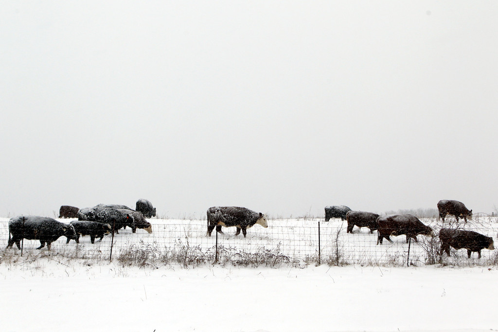 . Cattle graze in a field along Progress Parkway Friday, Dec. 6, 2013 in Ste. Genevieve, Mo. The National Weather Service issued winter storm and ice warnings through much of Friday for parts of Texas, Oklahoma, Arkansas, Mississippi, Missouri, Illinois, Indiana and Tennessee.  (AP Photo/St. Louis Post-Dispatch, Huy Mach)
